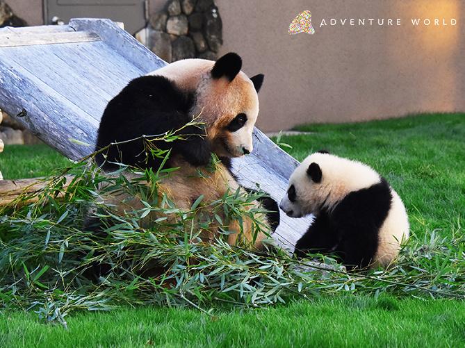 【攻略法】アドベンチャーワールドのパンダ!餌やり体験もで可能!会える時間やツアー参加方法