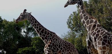 【2019】天王寺動物園の料金&割引を解説!500円でコアラに会える!コンビニ前売り割引はある?