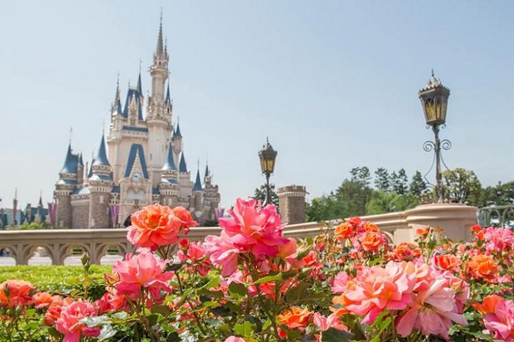 【魔法の薔薇】ディズニーランドローズとは?パークで咲いている場所や栽培方法を解説!