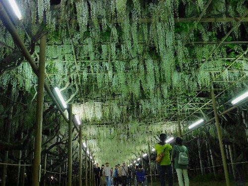 2018年の白藤のトンネル