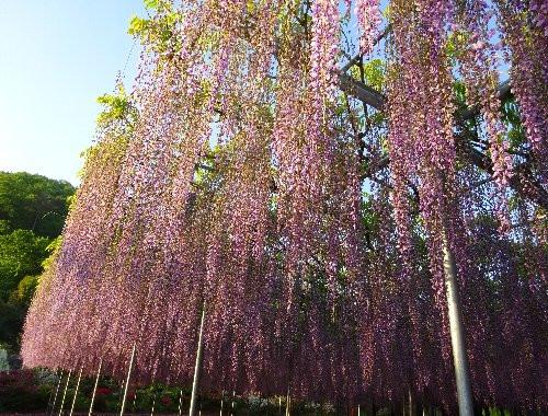 藤の花を安く見る方法とは?